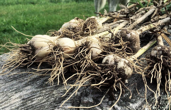 freshly harvested garlic